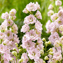 Delphinium Plants - Cinderella