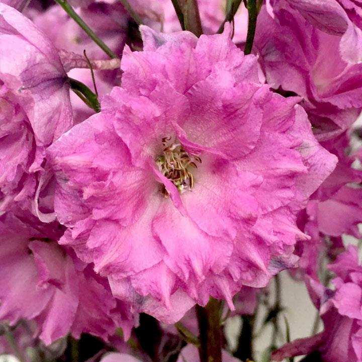 Delphinium Plant - Pink Punch