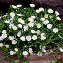 Delosperma Plants - Wheels of Wonder White Wonder