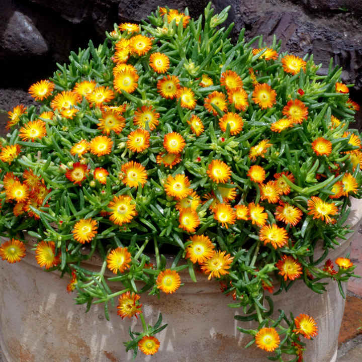 Delosperma Plant - Wheels of Wonder Orange