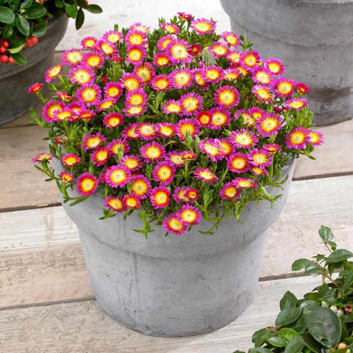 Delosperma Plants - Wheels of Wonder Hot Pink
