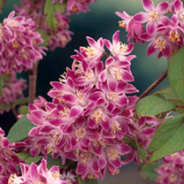 Deutzia Hybrida Plant - Strawberry Fields