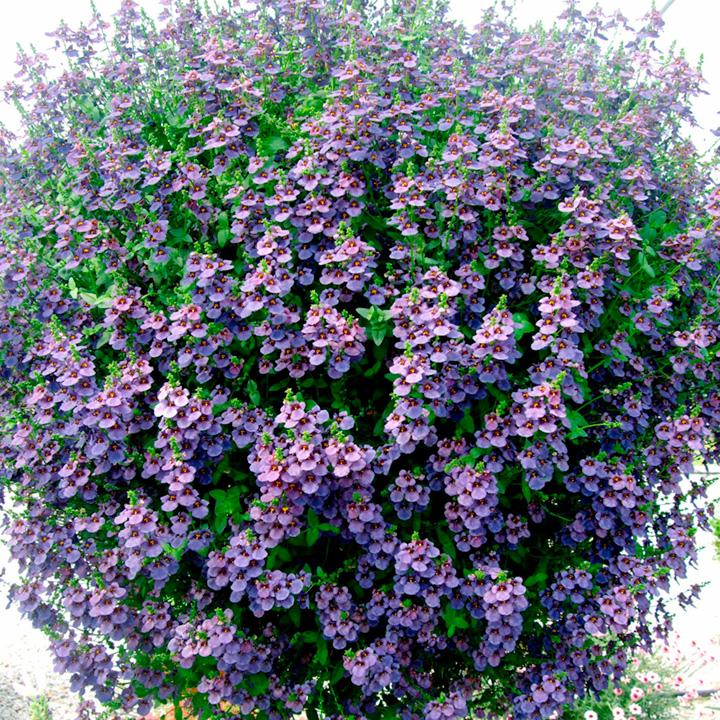 Diascia Plant - Blue Belle