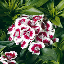 Beautiful large showy clusters of flowers on this true cottage garden favourite are fragrant and pure white with a highly attractive cherry red centre