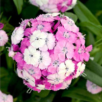 Sweet William Plant - Barbarini Dash Magician