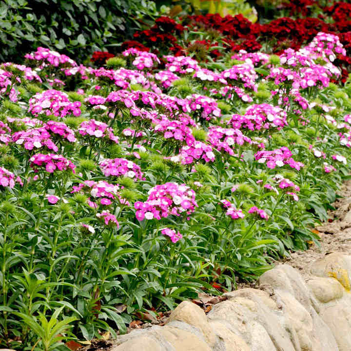 Sweet William Plants - Dash Magician