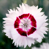 New award-winning range of British bred varieties, highly fragrant, compact growing, easy to grow, repeat flowering over a very long period. Flowers M