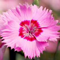 Dianthus Plant - Shirley Temple