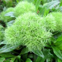 Dianthus Plant - Green Tick