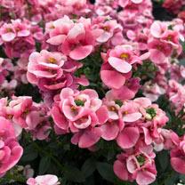 Diascia Plants - Pink Bicolour