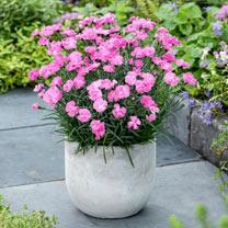 Dianthus Plants - Dinetta Pink