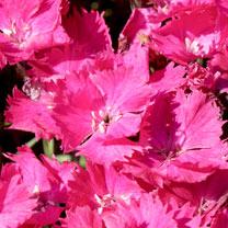 Dianthus Vivid Bright Light Plants