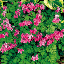 Dicentra Plant - King of Hearts
