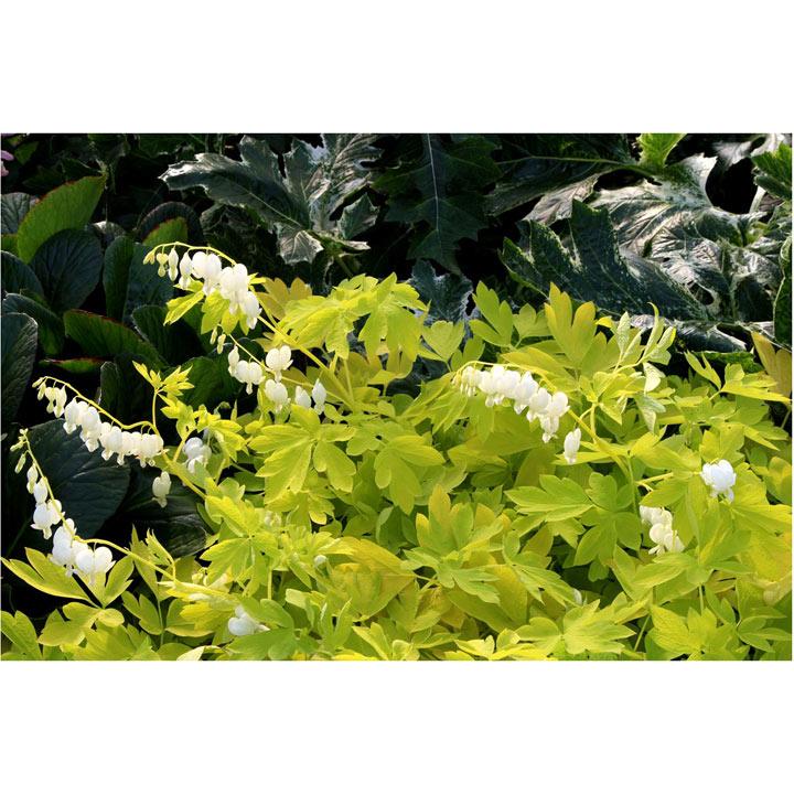 Dicentra spectabilis Plant - White Gold