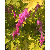 Dicentra spectabilis Plants - Gold Heart
