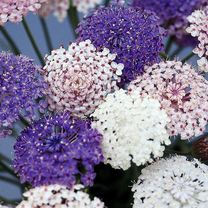 A lovely plant for border, patio or conservatory. Spectacular dome-shaped, lace-like, clusters of flowers in a beautiful shade of lavender-blue. Heigh