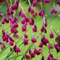 Dierama Plants - Blackbird