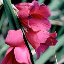 Dierama Plant - Blackbird