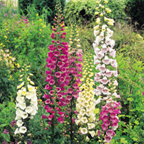 Tall spikes with tiers of maroon spotted cream, primrose, pink and purple flowers. RHS Award of Garden Merit winner. RHS Perfect For Pollinators. Heig