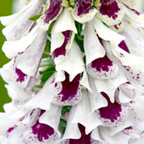 Digitalis Plant - Pam's Split