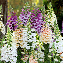 Digitalis Plants - Dalmation Mix
