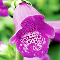 Digitalis Plant - Dalmation Purple