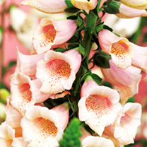 Digitalis Plant - Dalmation Peach