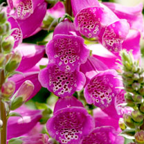 Digitalis Plant - Dalmatian Purple
