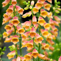 Digitalis Plant - Goldcrest