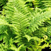 Dryopteris cristata Plants