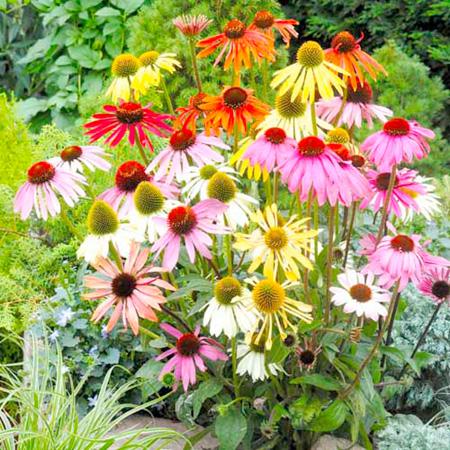 Echinacea Plants - Paradiso
