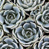 Echeveria lilacina Plant