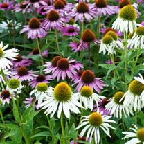Echinacea Seeds - Mixed Feelings