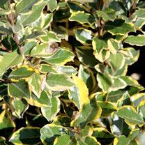 Elaeagnus ebbingei Plant - Viveleg