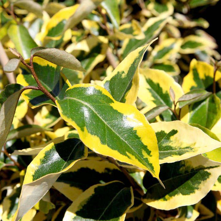 Elaeagnus ebbingei Plant - Gilt Edge