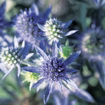 Eryngium Plant - Blue Hobbit