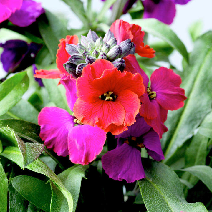 Erysimum Plants - Red Jep