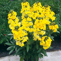 Erysimum Plant - Fragrant Sunshine