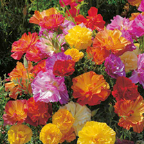 Beautiful, full, double or semi-double flowers with attractive ruffled petals in brightly coloured shades on dark green, finely cut foliage. A queen a