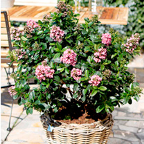 Escallonia Plant - Pink Elle Noble