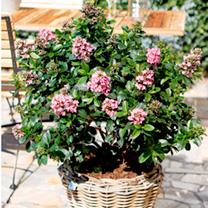 Escallonia Plant - Pink Elle Noble