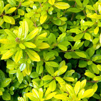 Escallonia laevis Plant - Gold Ellen