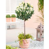Euonymus Plant - Paloma Blanca