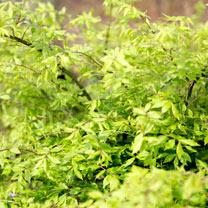 Euonymus alatus Plant