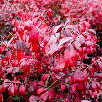 Euonymus alatus Plant - Compactus