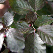 Fagus Atropurpurea (Purple Beech) Plant - 2L Value Hedging Range