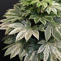 Fatsia japonica Plant - Spider's Web