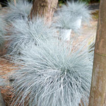 Festuca Plants - Intense Blue
