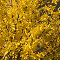 Forsythia Plant - Weekend