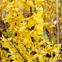 Forsythia Plant - Goldrausch